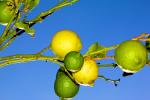 Mallorca Zitronen