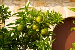 Mallorca Mandarinenbaum