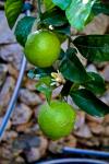 Mallorca Zitronenbluete