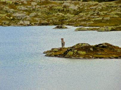Steinbock im See