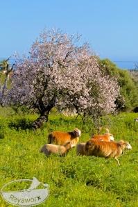 Schafe vor Mandelbaum