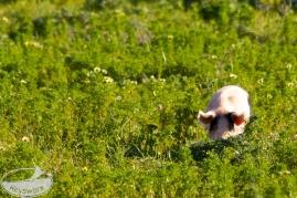 Schwein im Gruenen