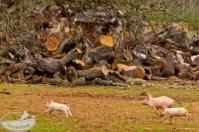 Mallorca: Schweinchen Wettrennen