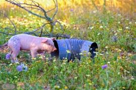 Schwein und Ofenrohr