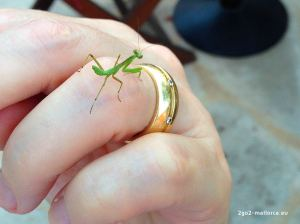 DoSchu mit Mantis religiosa - Gottesanbeterin, Mallorca