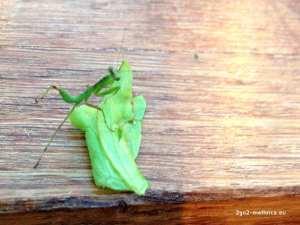 Mallorca-Mantis - Gottesanbeterin