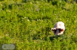 Schwein in Grün