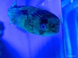 Gran Azul Kofferfisch