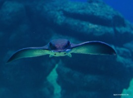 Palma Aquarium Adlerrochen