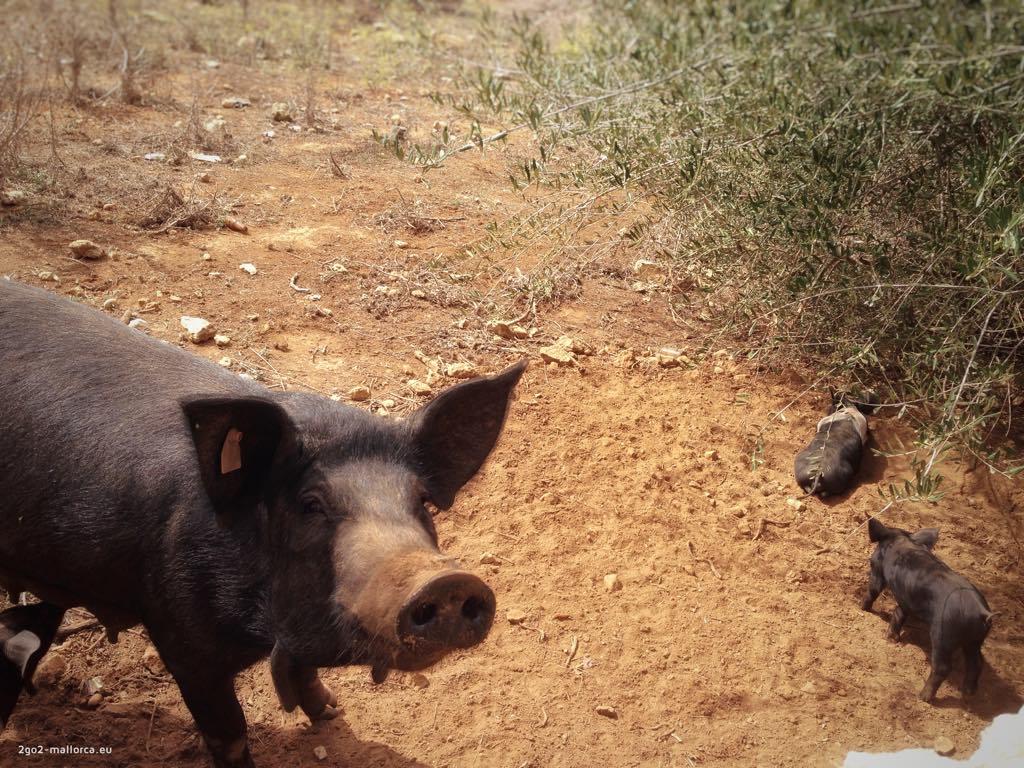 Tierleben auf Mallorca: Schwein(ch)en
