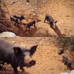 mallorca-schwarzes schwein ferkelchen