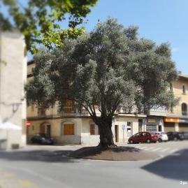 Schöner grosser Olivenbaum im Zentrum von Santa Margalida