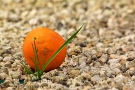 """Eine einsame Orange im Kiesbett hinter Gras """"versteckt"""""""