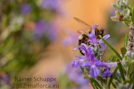 Biene mit vollen Hosen auf dem Rosmarin