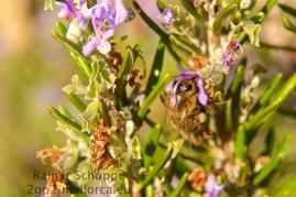 Biene wird betupft im Rosmarin