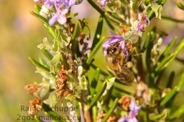 Biene auf Rosmarin - Die Bestäubung