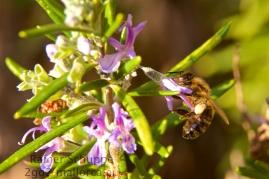 Biene auf Rosmarin 2