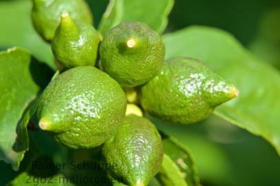 Die zukünftigen Gin Tonic Veredler noch grün am Baum