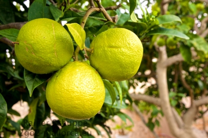 Drei prächtige Orangen in der Reifungsphase
