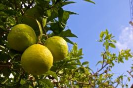 Orangen in grün vor blauem Himmel