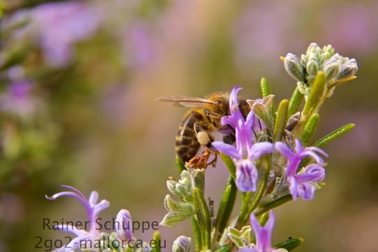 Volle Pollenhöschen vom Rosmarin