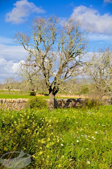 Ein scheinbar toter Mandelbaum