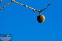 Mallorca Mandel vor blauem Himmel