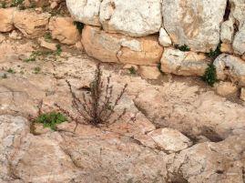Steinpflanze