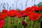Roter Mohn vor blauem Himmel