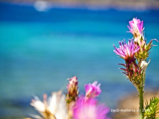 Violett vor Blau - Distel vor Meeresbucht