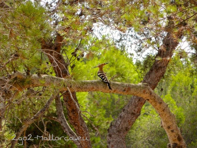 Ein Wiedehopf oder auch Puput auf Mallorca in Portocolom