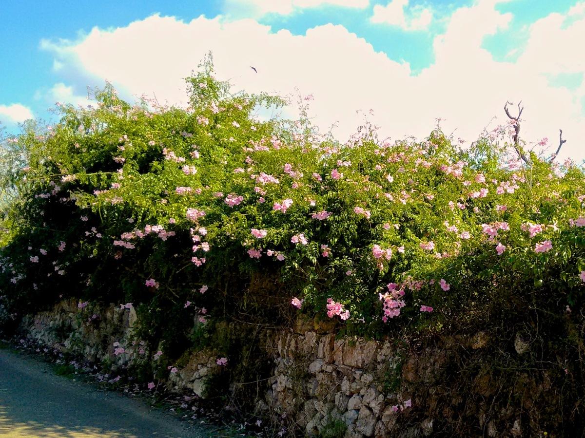 Überall blüht es - es muss Herbst auf Mallorca sein.
