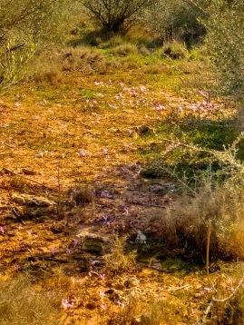 Kleine Blume überall - mallorquinische Herbstzeitlose - oder so