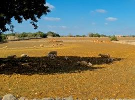 Lamm in der Sonne - Herbst auf Mallorca