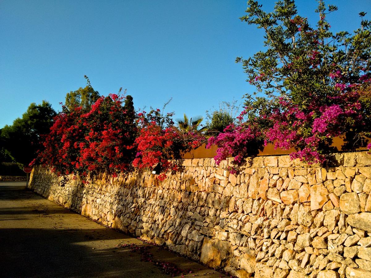 Blühende Bougainvillae in der Abendsonne - Joggers Traum auf Mallorca (im November :-)