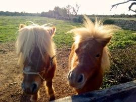 Zwei neugierige, aber vor allem, hungrige Ponies an der Laufstrecke. Im Gegenlicht extra strahlend. Mallorca-Jogging im November