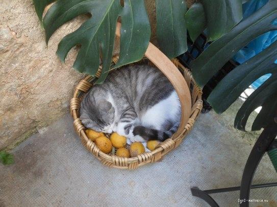In Sóller lieben auch die Katzen Zitronen