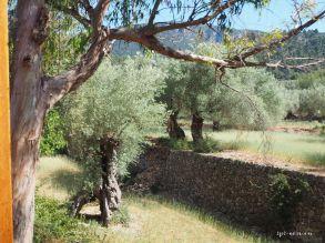 ...vorbei an Olivenbäumen