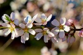 Mallorca Mandelblüten