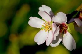 Mandelblüte Nahaufnahme - keine Satellitenschüssel