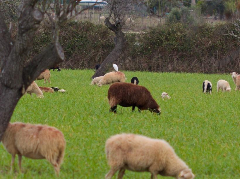 Schafe Seidenreiher Wiese Mallorca