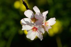 Mandelblüten Blüten Mallorca