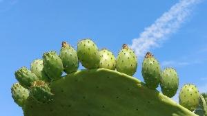 Kaktus Sommer Mallorca Santanyí doschu