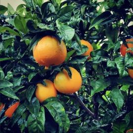 Orangen im Garten