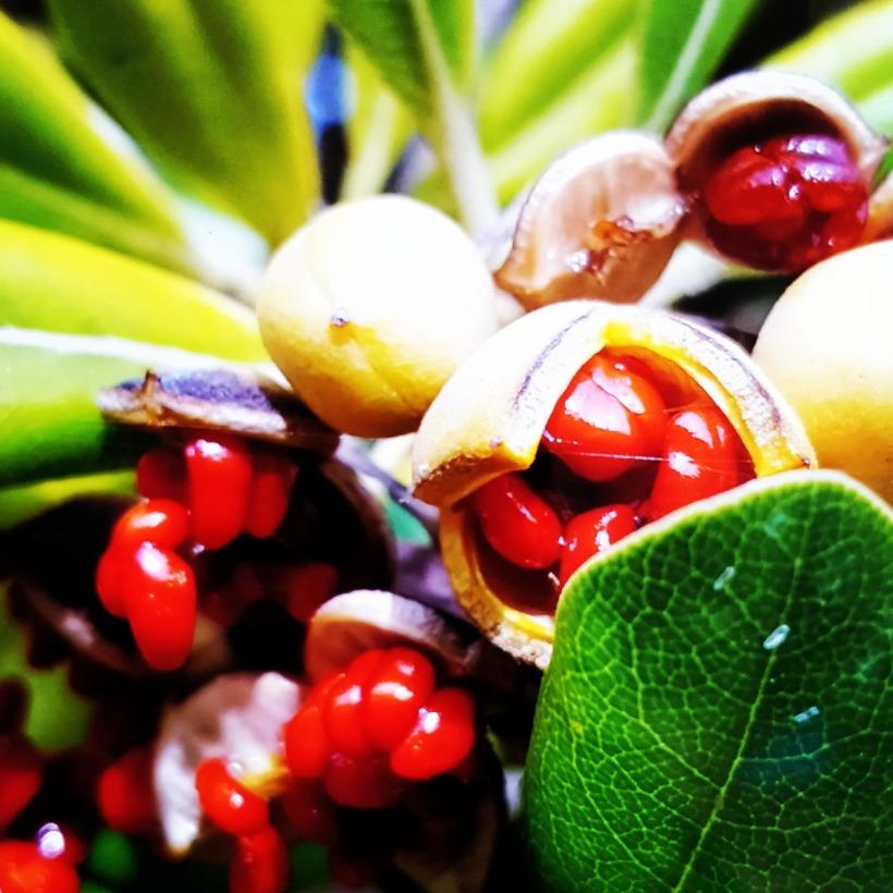 Pittosprum tobira Mallorca Frucht