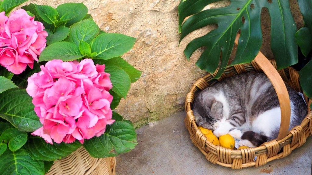 Lemons with cat