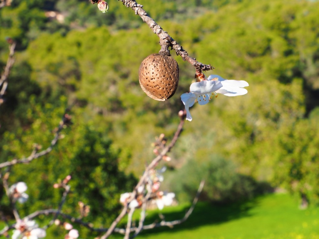 Mandel & Mandelblüte